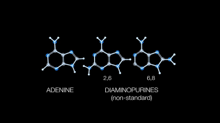 Animation depicting the structural differences between standard and non-standard nucleobases.